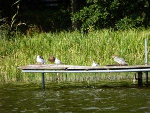 Ptaki na pomoście.